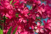 stock photo of oleander  - Oleander flowers in greece sunny day vacation - JPG