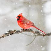 picture of cardinals  - Male Cardinal perched on snow covered branch in snowstorm - JPG
