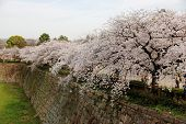 stock photo of row trees  - a row of cherry trees full of pink flowers on top of a century old wall - JPG