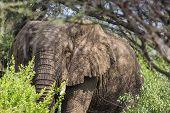 picture of sub-saharan  - Huge African elephant bull in the Tarangire National Park Tanzania - JPG