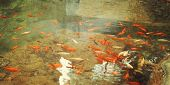 foto of fish pond  - Artificial pond with goldfishes for relaxation  - JPG