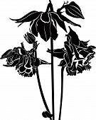 image of columbine  - Columbine Aquilegia lily  - JPG