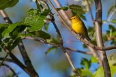 picture of sun perch  - This Goldfinch perched and relaxing in the sun - JPG