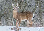 picture of deer rack  - Whitetail Deer Buck standing in a woods in winter snow - JPG