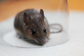picture of field mouse  - little cute brown field mouse catched in a glass - JPG