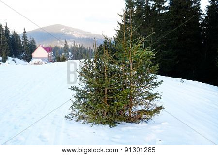 Fir trees in snow over blue sky and mountains
