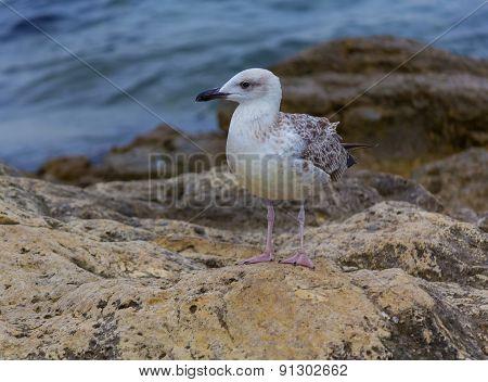 Seagull On The Crimean Coast