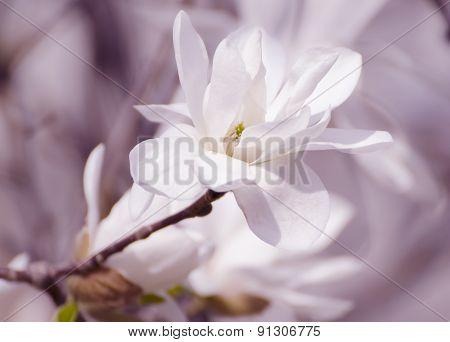 Magnolia white  flowers