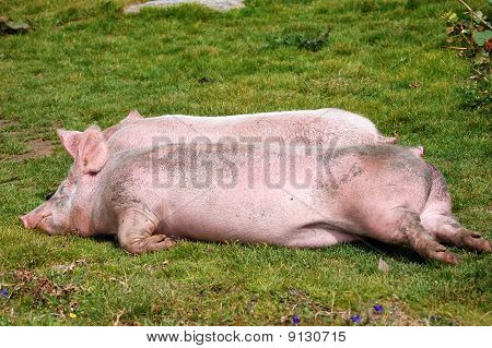 Resting Pigs In The Grass