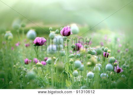 Meadow of purple poppy flowers