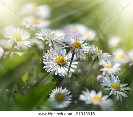 Meadow flowers - daisy flowers bathed in sunlight