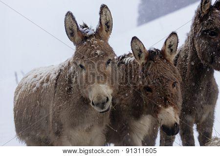 Donkeys In A Paddock
