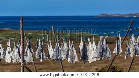Codfish drying on lines overlooking the ocean on the Bonavista Peninsula, Newfoundland, Canada.