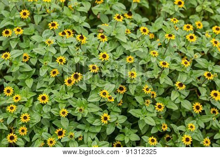 Yellow Sanvitalia procumbens in the home garden.