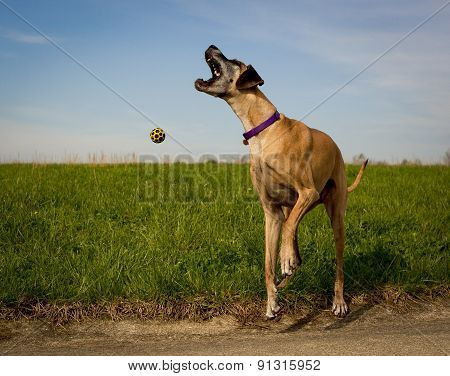 Great Dane with mouth open in field
