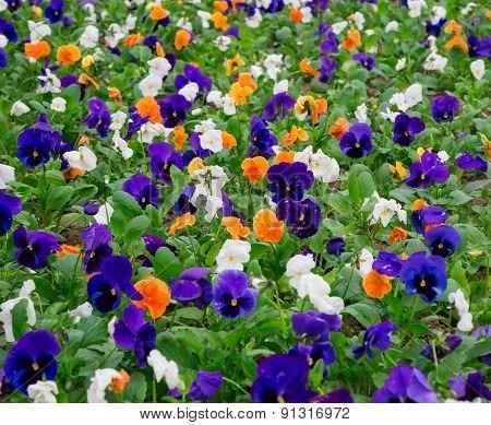 Pansy Flower,  Closeup