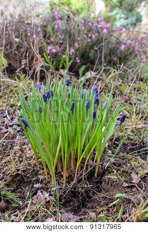 Murine Hyacinth