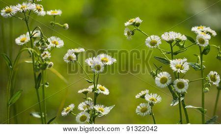Fleabane (Erigeron annulus). Daisy like Blooms.