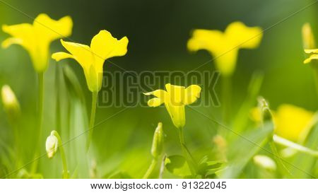 European Wood Sorrel. Oxalis Stricta. Formerly Oxalis Europaea. Yellow Blooms.