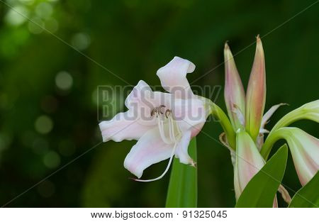Crinum Lily, Cape Lily, Poison Bulb Or Spider Lily