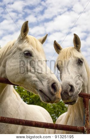 Two white Arabian horses noses touching