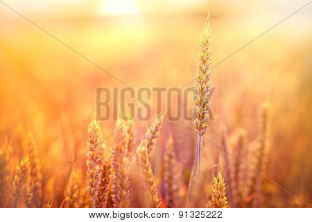 Sunset in field of wheat