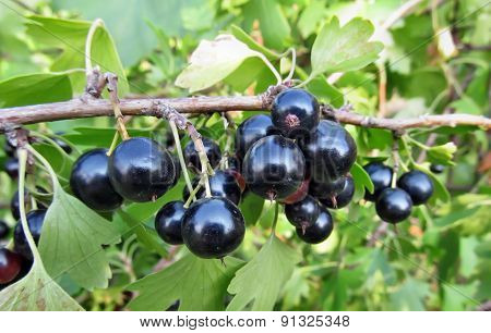 Giant Currant