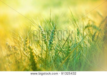 Unripe wheat field - immature wheat (grain)