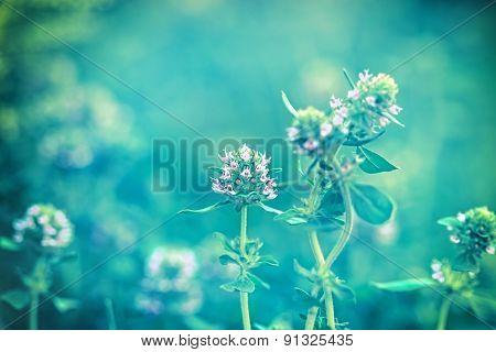 Flower of thyme in my garden