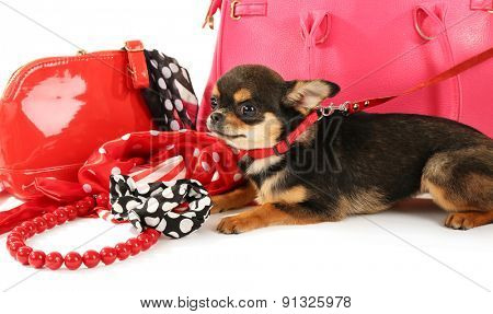 Cute chihuahua puppy near female bags, closeup