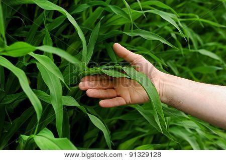Hand Holding A Corn Leaf