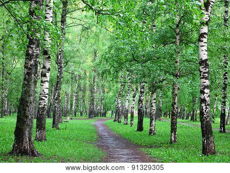 Spring Birch Grove In The Rain