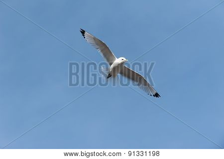 Bird Seagull In Flight
