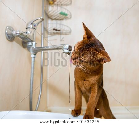 Abyssinian Cat Drinks Water