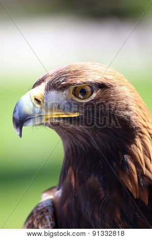 Portrait Of An Golden Eagle