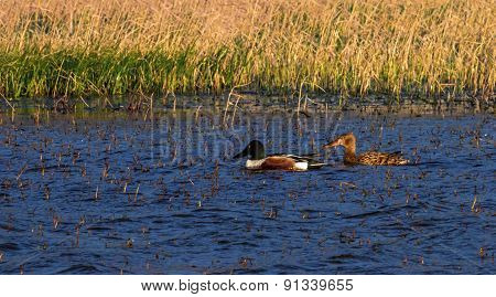 Northern shoveler, anas clypeata, ducks