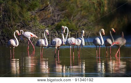Greater flamingos, phoenicopterus roseus, Camargue, France