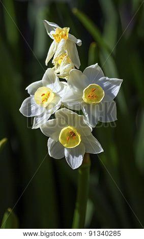 Crucianella angustifolia flowers