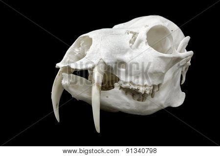Skull Of A Chinese Water Deer