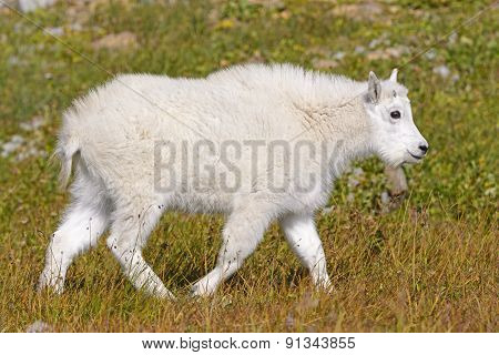 Baby Mountain Goat In An Alpine Meadow