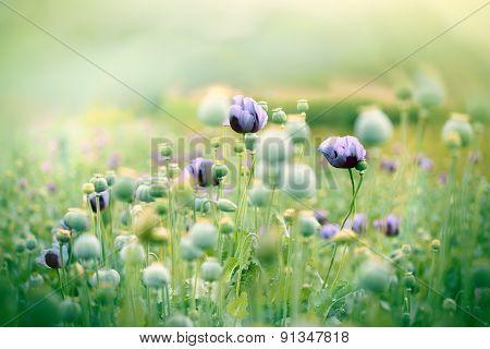 Meadow of beautiful purple poppy flowers