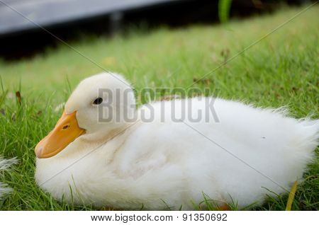 White duck, close up the front duck
