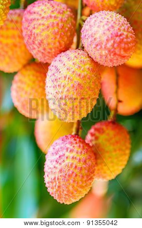 Lychee Fruit On The Tree In The Garden Of Thailand, Asia Fruit..