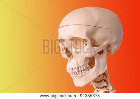 Medical Human Skull Model, Used For Teaching Anatomical Science.