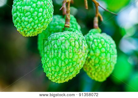 Young Lychee Fruit on the tree Asia Fruit.