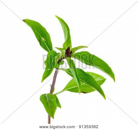 Organic Basil Leaves Isolated On White Background