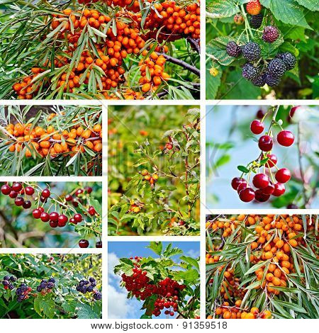 Berries ripe set