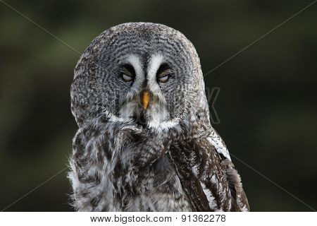 Great Grey Owl with Eyes Closed