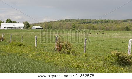 Old Farm Fence And Cows