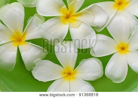 Plumeria Flower In Water
